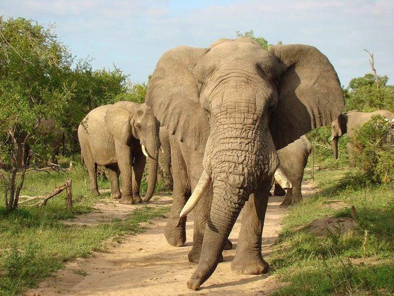 Elephant in Sabi Sands, Kruger