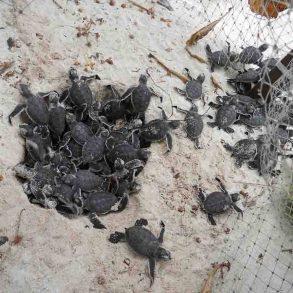 Turtle Hatching In The Maldives – Vilu Reef Beach & Spa Resort