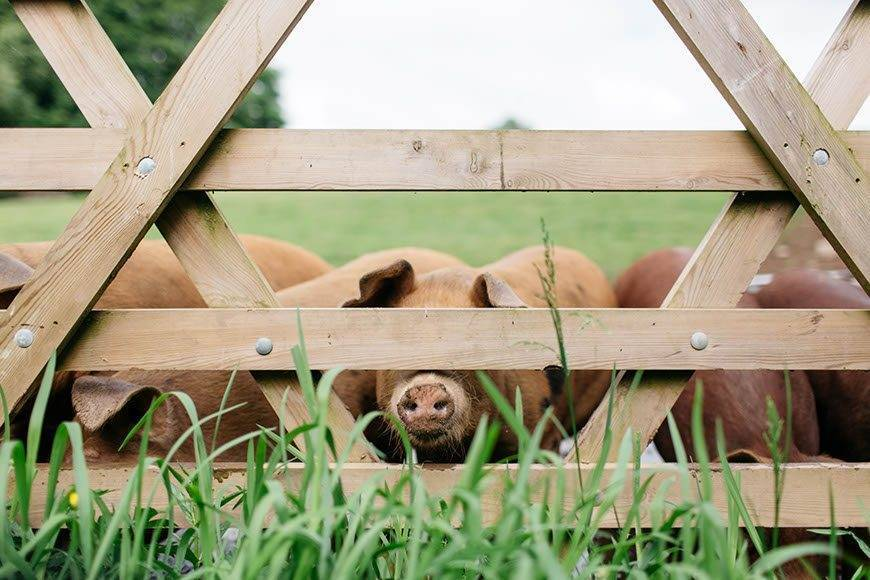 Pigs at gate - Luxury Wedding Gallery